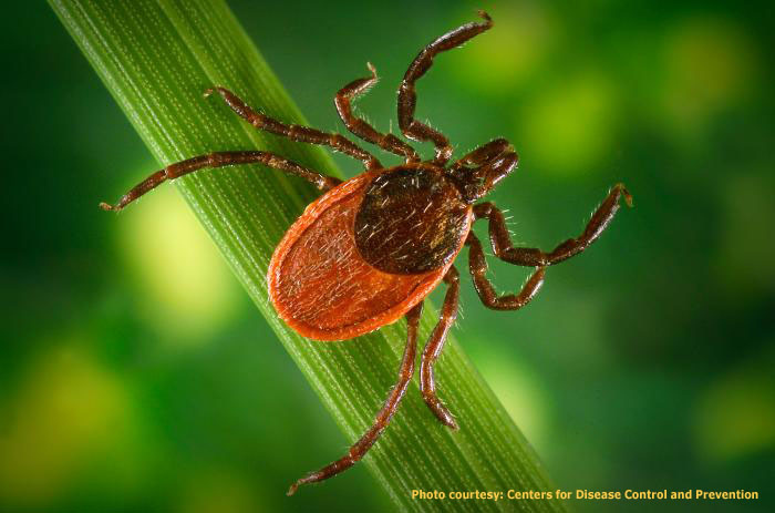 A Quick Approach to Lyme Disease